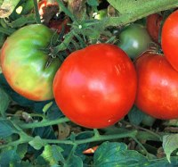 Marglobe tomatoes