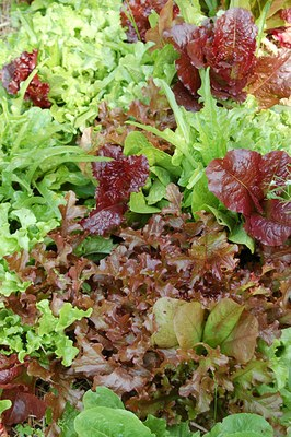 lettuce-mix-the-best.jpg