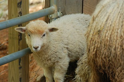 sweet-baby-sheep.jpg