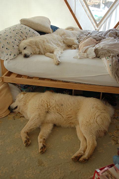 tired-gaurdian-dogs.jpg