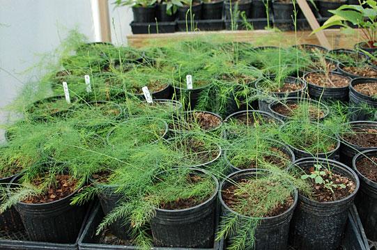 pots-of-asparagus.jpg