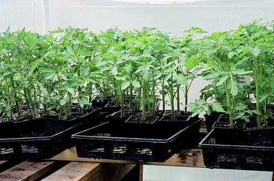 tomato--plants-in-flats.jpg