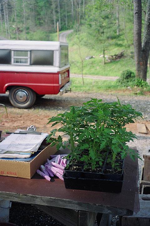 tomato-plants-to-ship.jpg