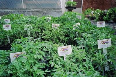 tomatoes-in-GH.jpg