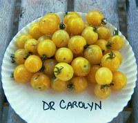 Dr. Carolyn's Yellow tomatoes